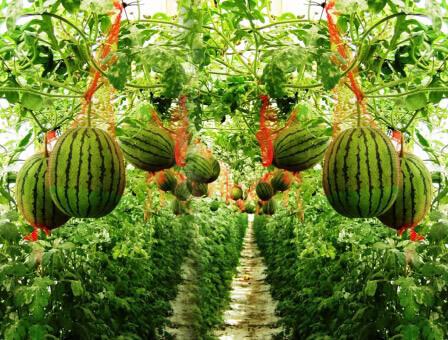תערוכת החקלאות: סגול, ירוק, מתוק ומר