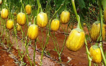 צבעים של ערבה: תוצרת חקלאית ססגונית