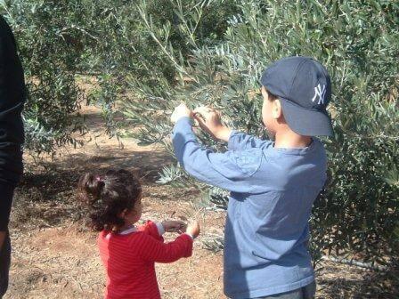 מטע עצי זית (צילום דנה נמדר)