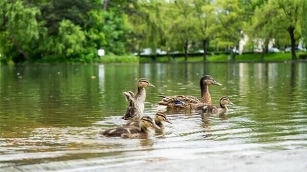 אגמים אגם ברבורים צילום נסים שרון