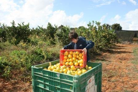 טונות של יבול מידי שנה (התמונה באדיבות לקט ישראל)