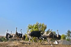 אל היען - חוות היענים